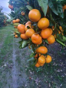OKUSI-I-MIRISI-JUGA-Grana Mandarine